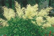 Futur Buy: Aruncus dioicus: Futur Buy, Garden Plants