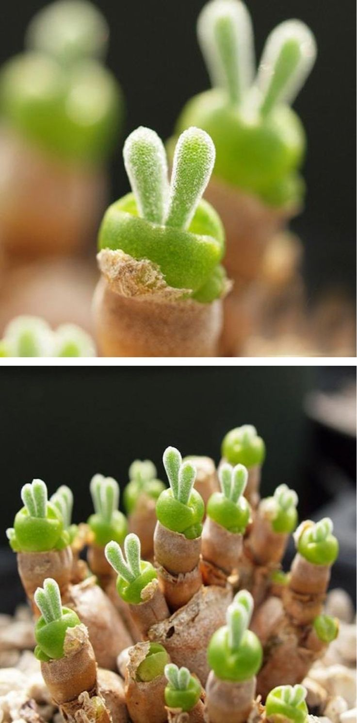 When the Monilaria obconica sprouts, it has two ears just like a bunny.