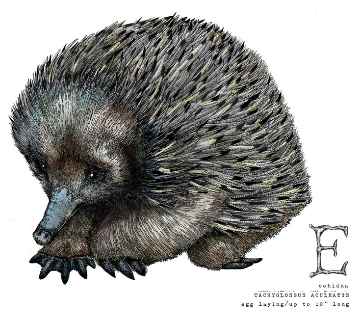 The gallery for --> Porcupine Vs Hedgehog Vs Echidna