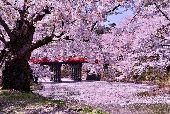 Cherry Blossom Aomori Japan
