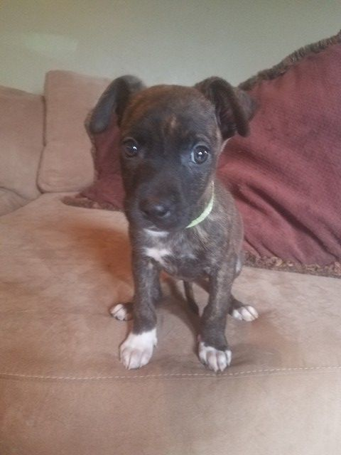 Boxador Dog For Adoption In Pearland Tx Adn 777575 On