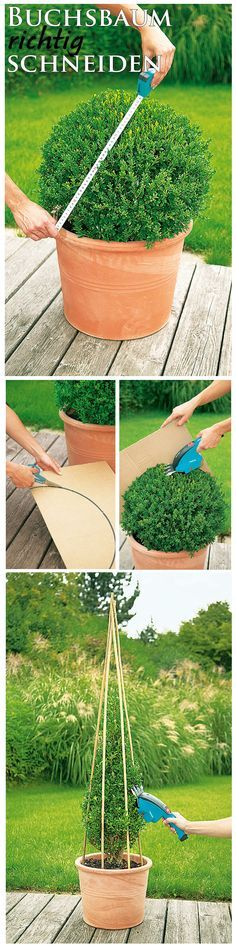 Der Buchs ist ein schöner Strauch – wenn man ihn richtig pflegt. Die Kugelform kann man ganz leicht erhalten, wenn man sich eine Vorlage aus Pappe schneidet und diese während des Schneidens an den Baum hält. Möchte man den Buchs in Kegelform haben, kann man drei Stöcke wie Zeltstangen über den Buchs stellen. Die abstehenden Stellen einfach mit der Gartenschere kürzen. So wird der Buchs nach und nach in Form gebracht.