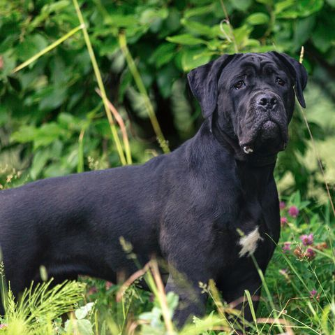 13 Italian Dog Breeds That Are Molto Bello Italian Dogs Very Big Dog Corso Dog