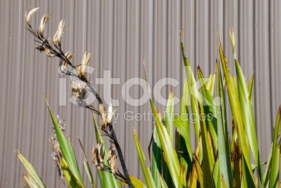 New Zealand Flax and Corrugated Iron Background royalty-free stock photo