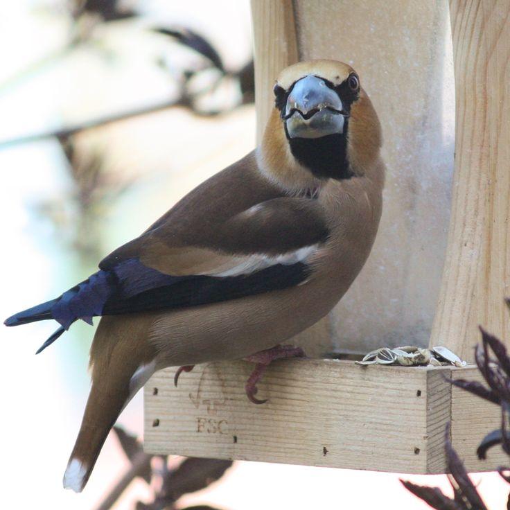 Ein #Kernbeißer am Vogelhaus - #hawfinch