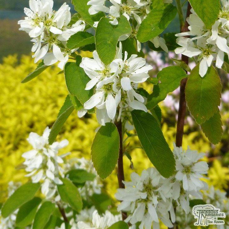Buy Amelanchier alnifolia Obelisk (June Berry) online from Jacksons Nurseries