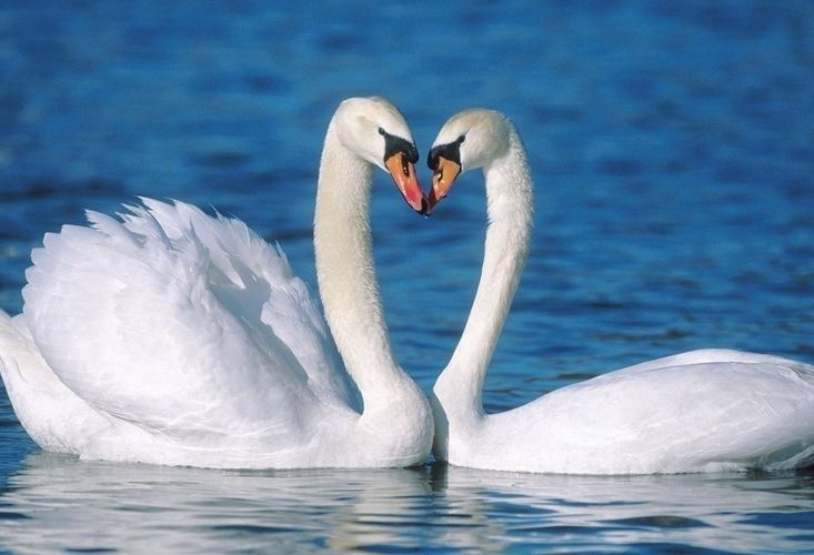 Someones in love :) #swans #love #heart