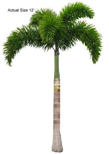 The Foxtail Palm's fronds resemble that of a fox's tail. Very unique and decorative palm tree for any large or small indoor or outdoor proje...