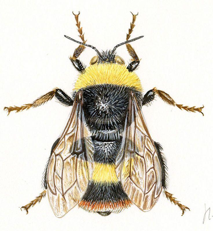 Illustrations naturalistes et scientifiques - Peintures d'insectes - Galerie - Catégorie: illustrations entomologiques - Image: bourdon des prés