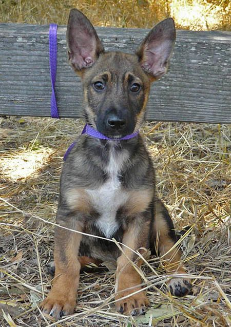 im a sucka for some big ears! shepherd corgi mix! look at his bat ears.