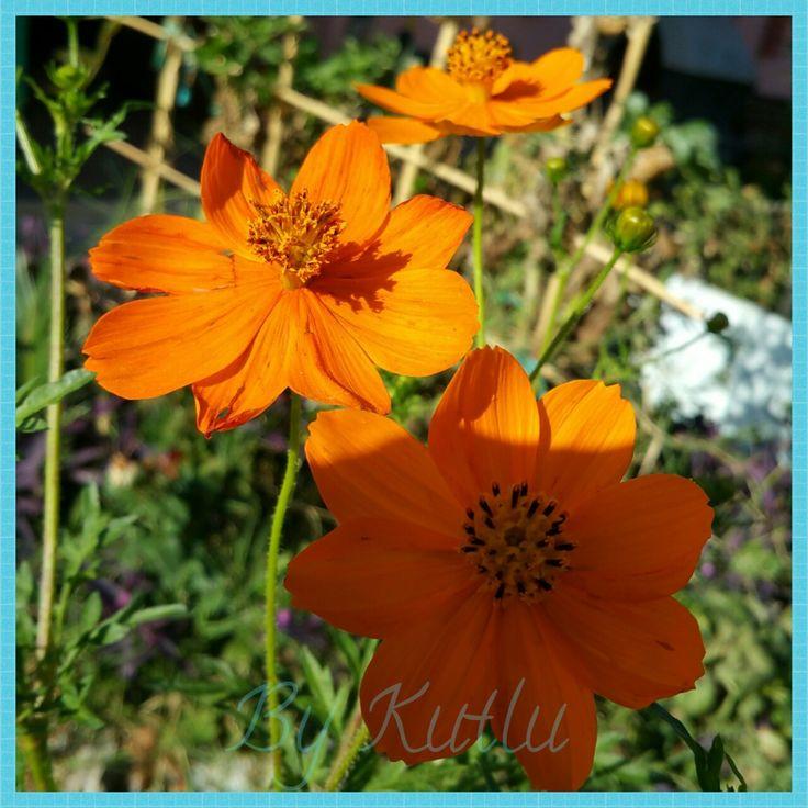 Sonbahar çiçekleri,  en sevdiğim renk! 😉💙 #çiçek #bahçemizden #bahçemiz
