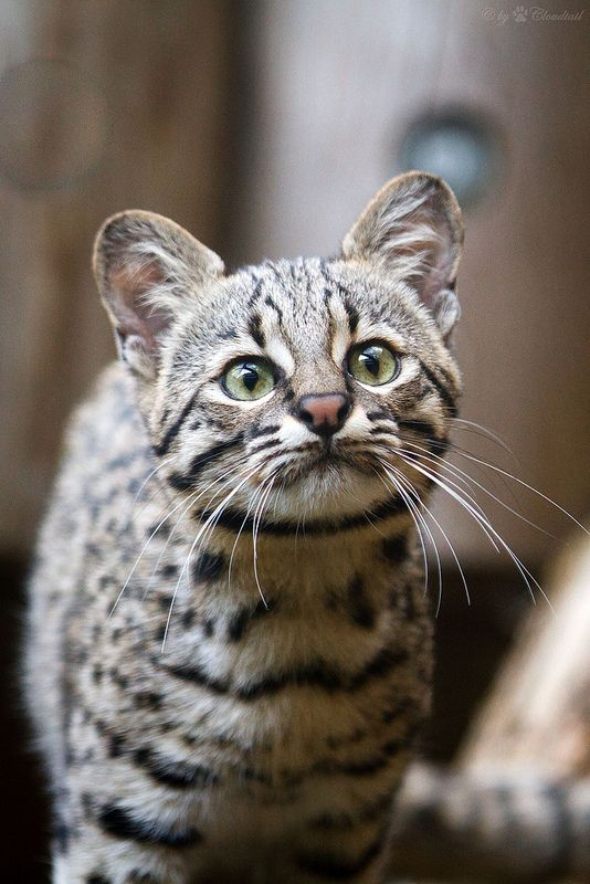 Popular A Geoffroy us cat at Zoo Karlsruhe