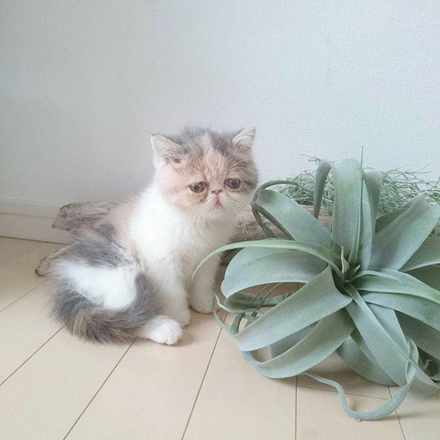 😍 😍 😍  起きてる時の写真は ちょこちょこしてて難しい  はぁー たれ目かわいい😻  #エキゾチック#ショートヘアー#エキゾ#子猫#こねこ#仔猫#エキゾチックショートヘアー#猫#猫画像#猫部#ねこ#ねこ部#ねこ画像#ネコ#ネコ部#ねこバカ#ニャンコ#にゃんこ#愛猫#にゃんすたぐらむ#ねことの暮らし#instagramcat#ダイリュート#猫のいるくらし#三毛猫 #猫バカ#猫バカ部#ニャンスタグラム#にゃんだふるらいふ #ねこすたぐらむ
