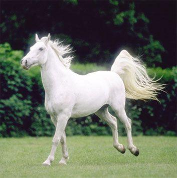 Lipica horse - near Szilvasvarad