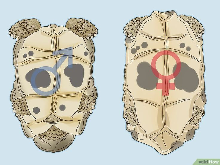 How To Tell The Difference Between A Male And Female Red Eared Slider Red Eared Slider Red Eared Slider Turtle Slider Turtle