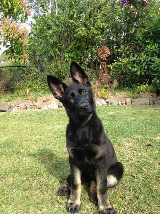 Are you kidding?-GSD