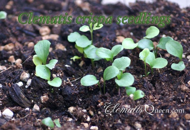 How To Propagate Clematis From Seeds And Cuttings Clematis Growing Gardens Little Gardens