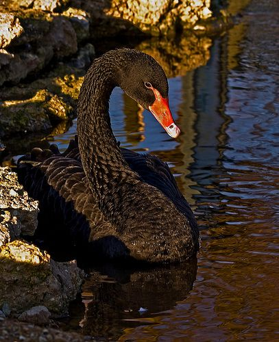 Black Swan, taken at Slimbridge wildfowl Trust.