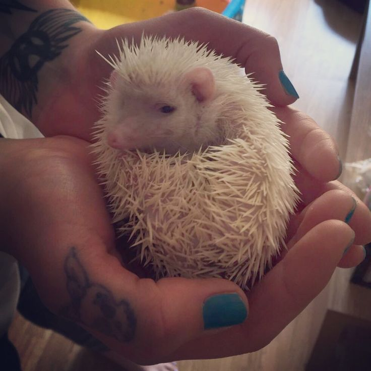 My lovely baby hedgehog  #branstonprickle #aggysinkmascot #aggysink #hedgehog #pygmyhedgehog #africanpygmyhedgehog #cute