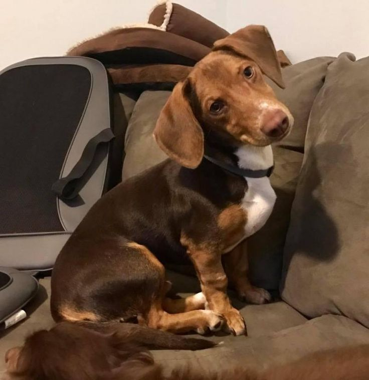 Ft Walton Beach, FL - Meet Cider, a Petfinder adoptable Dachshund Dog LOCATED at The Rescued Rescuers, Fort Walton Beach, FL