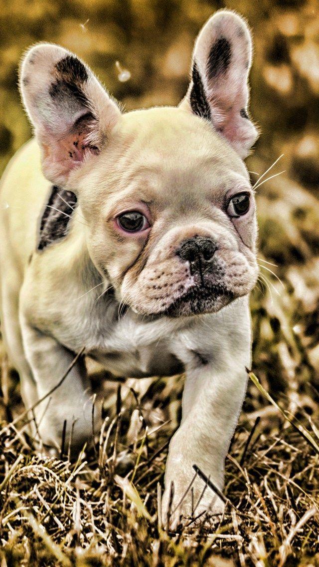 French Bulldog Bokeh Dogs Autumn Close Up White French