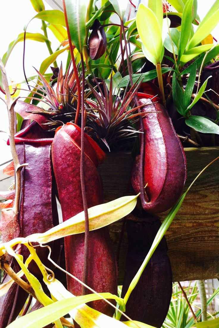 Pitcher Plants eat insects by attract them by scent into the cups where they can't get out... and dinner is served.