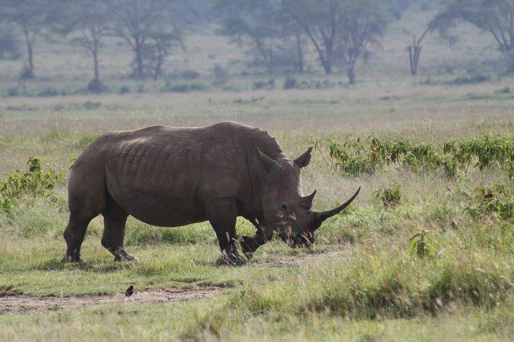 Sydafrika forsøger sig med en ny metode mod krybskytter. Næsehorn udstyres med GPS og kamera.