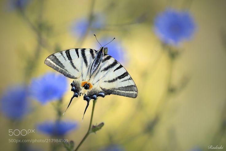 Butterfly among flowers (Roberto Aldrovandi / Reggio Emilia / Italia) #nikon D800E #macro #photo #insect #nature