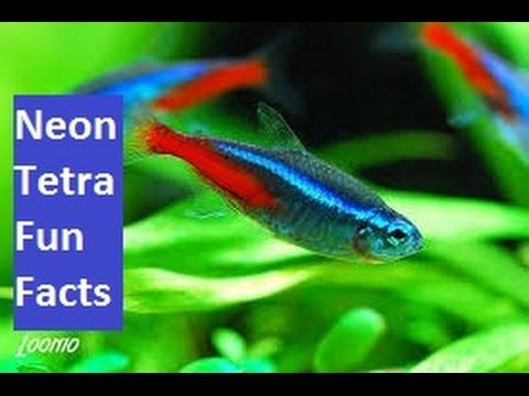 1224 best images about fish i would love to have but don 39 t for Neon tetra fish