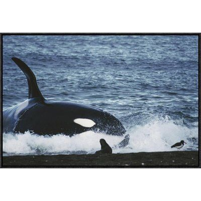East Urban Home 'Orca Hunting South American Sea Lion Group By Beaching Itself, Peninsula Valdez, Argentina' Framed Photographic Print Size: