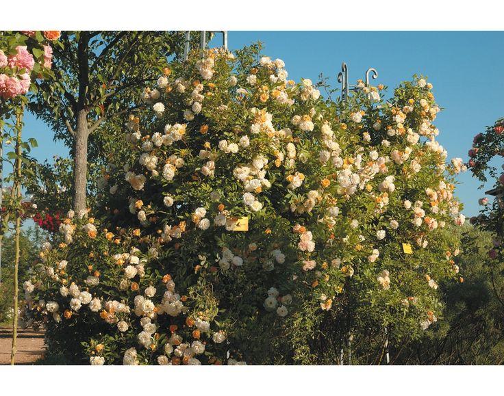 17 meilleures id es propos de rosier grimpant remontant sur pinterest rosiers grimpants - Quand tailler un rosier ...