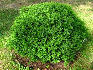 Klotthuja - Thuja Occidentalis - Hoseri. 50 cm hög. Fint med städsegröna växter som är lika fina året om.