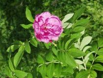 PINK PAVEMENT' Pavement -ruusut Kukat ovat lohensävyisen vaaleanpunaiset, puolikerrannaiset ja voimakkaasti tuoksuvat. Käyttö: yksittäin, ryhmissä, vapaasti kasvavana aidanteena sekä katu- ja tiealueilla I–V 80–130 cm x 120–150 cm A Kui–Tuo Ra++ Hk+