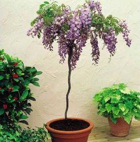 Un glicine ad albero? Coltivate ad alberello, alcune piante sono davvero decorative ed eleganti. Leggi di più su questa tecnica di coltivazione!
