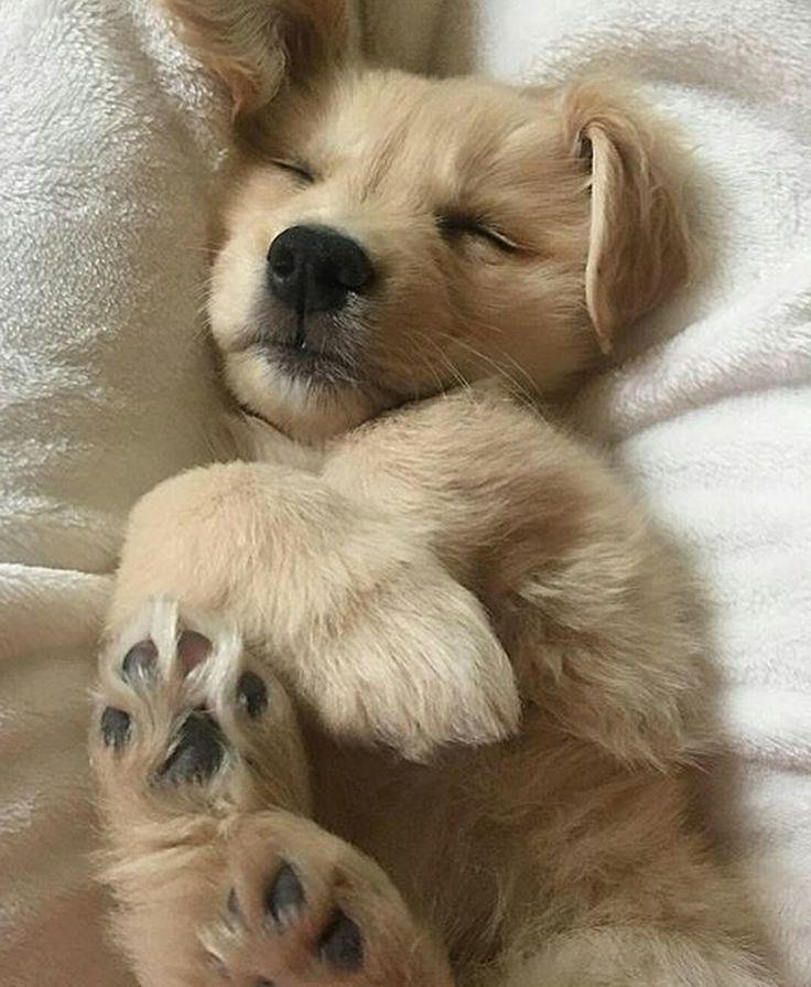Susser Welpe Des Goldenen Apportierhunds Apportierhunds Des