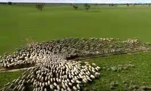 Drone Photography-  Australian sheep seen behaving like birds - Best Aerial Drone photography from around the world- Drone Magazine Australia News