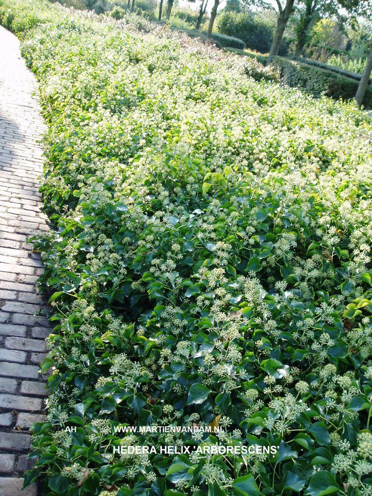 - Hedera helix 'Arborescens' = klimopstruik. Wintergroene tot 2.5 m hoge struik…
