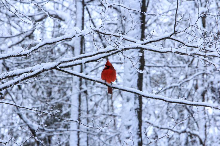 Cardinal Horizontal Card