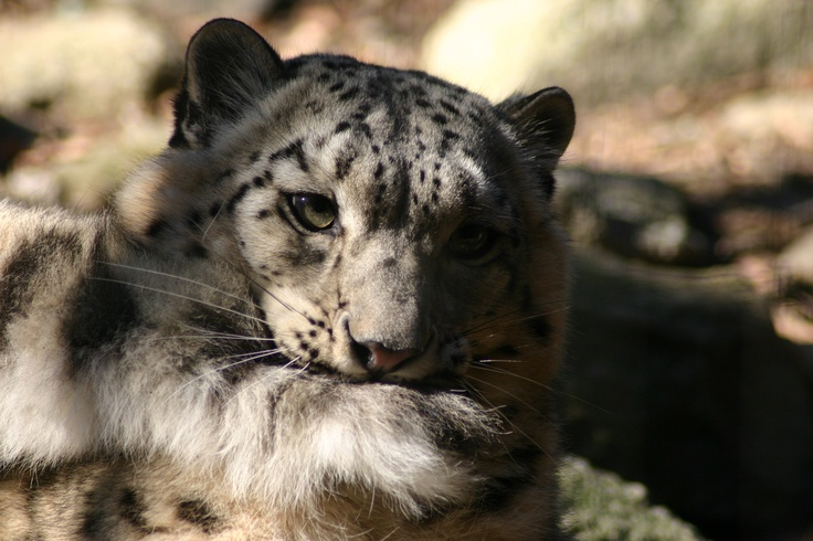 What do snow leopards eat? Where do snow leopards live? Click on to know the answers