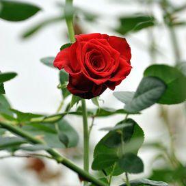 ma quando scelgono qualcuno possono essere molto leali e fedeli. Il loro fiore è per questo la rosa, che rappresenta la dolcezza racchiusa tra le spine, una pianta difficile da curare, che può pungere chi cerca di coglierla, ma proprio per questo considerata preziosa e unica.