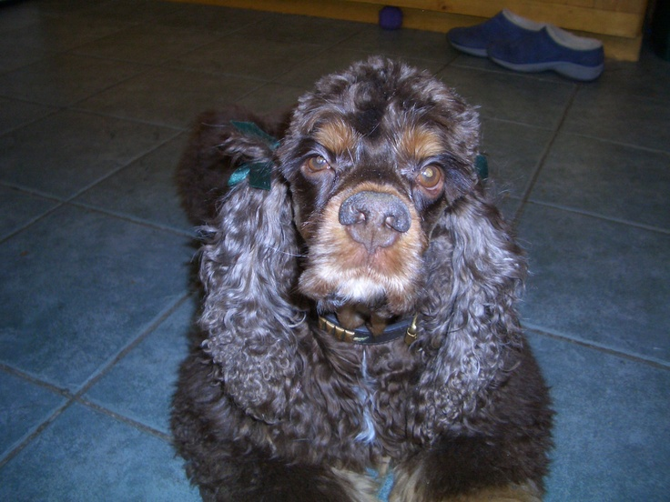 Reilly, a chocolate and tan American Cocker Spaniel
