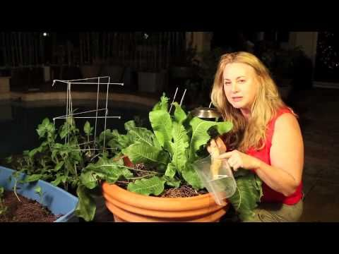 How to grow horseradish root. I'm a nurse-practitioner but I love gardening!! Visit me, NUrse Amy, at www.DoomAndBloom.net for more gardening tips, alternati...