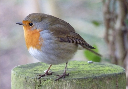 I can't get enough of English Robins - cheeky little creatures they are!  (About the size of a chickadee if I recall)