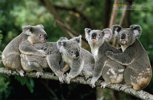 """Only about 100,000 to 300,000 koalas remain in Queensland, a mere relic of their past millions. Southeast Queensland, which has always claimed the highest koala density, faces intense habitat destruction with the expansion of Brisbane, Australia's fastest-growing city."""