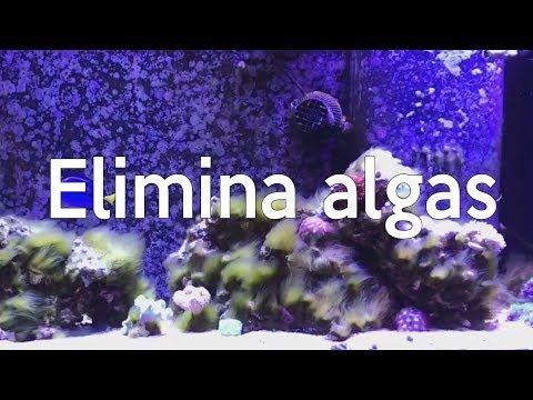 (5) ¿Cómo eliminar algas en una pecera marina? | AcuaTV - YouTube