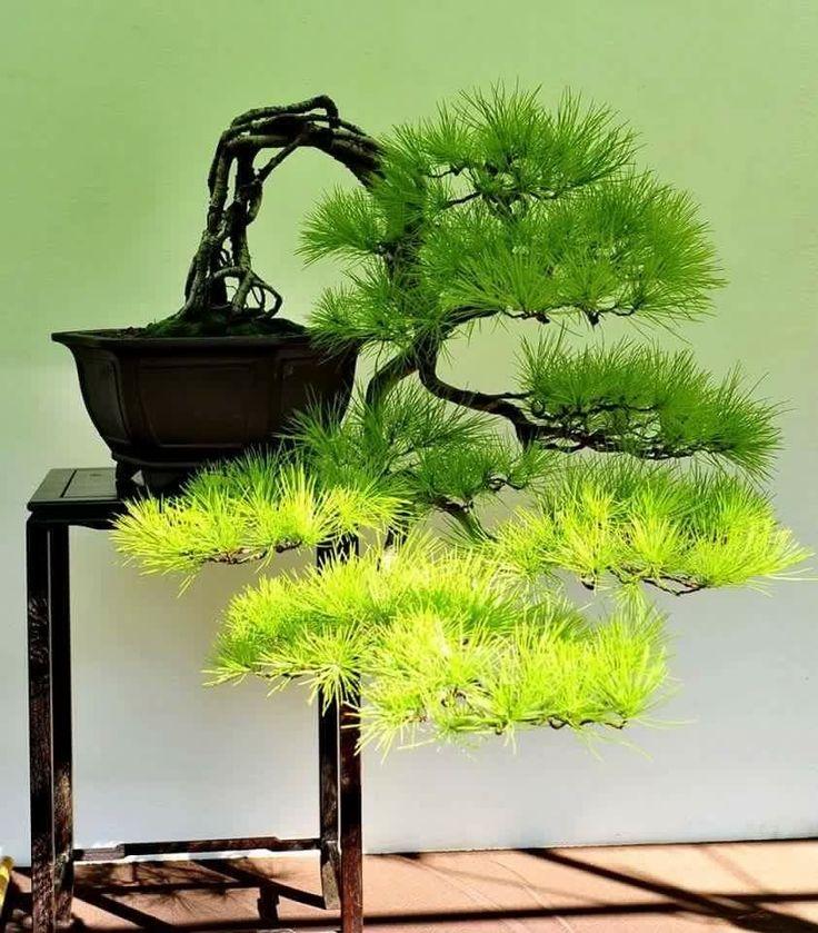 429 besten bonsai bilder auf pinterest bonsai pflanzen for Bonsai pflanzen