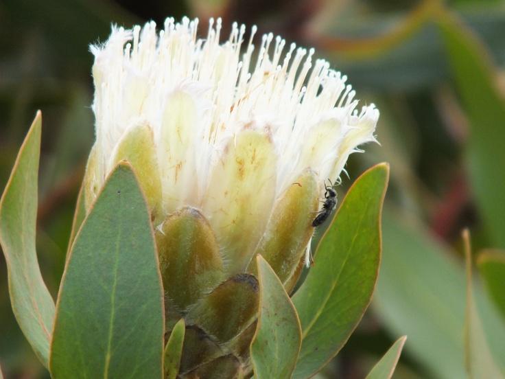 Small white protea