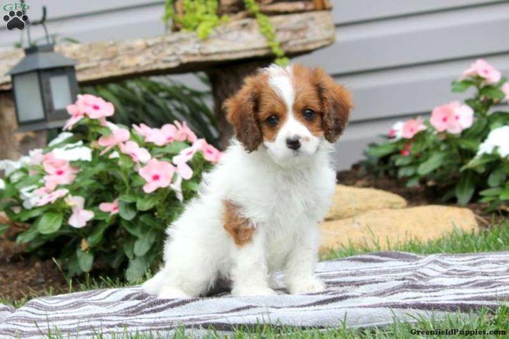 Benji, Cavapoo Puppy