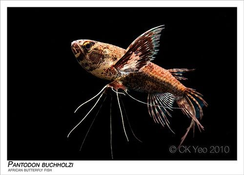 25 best ideas about cool fish on pinterest pretty fish for Freshwater butterfly fish