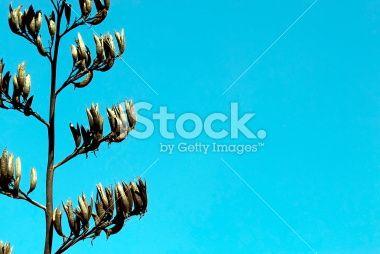 New Zealand Flax Flower & Sky Copyspace Royalty Free Stock Photo